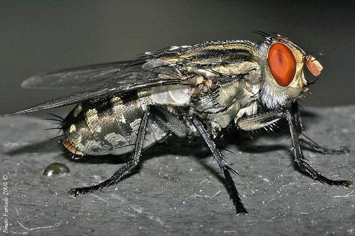 ruồi trâu