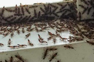 Khuyến cáo phòng chống kiến ba khoang
